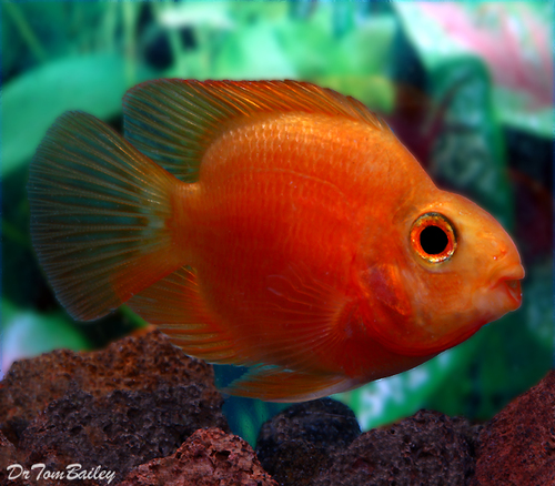 "Premium Persimmon Parrot Cichlid, 2"" to 2.5"" long"