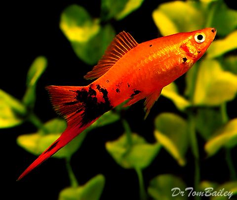 "Premium Painted Swordtail, Size: 1.5"" to 2"""