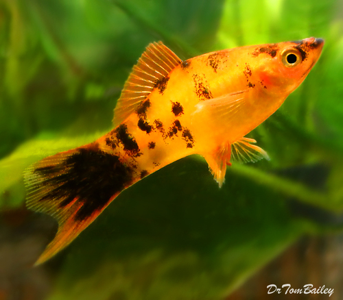 "Premium Rare and New, Gold Spotted Swordtail, 2"" to 2.5"" long"