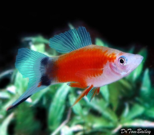 "Premium Rare, Red & White Mickey Mouse Swordtail, 1.5"" to 2"" long and beautiful !!"