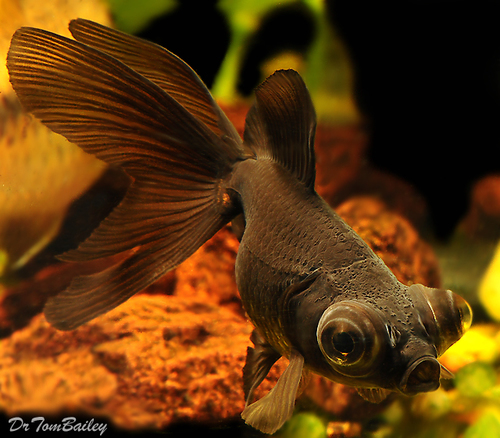 "Premium Black Moor Goldfish, 1"" to 1.5"" long"