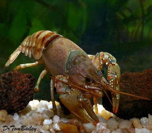 "Premium Freshwater Crayfish, 3.5"" to 4"" long"