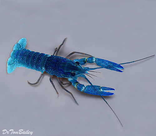 "Premium Blue Lobster, 3"" to 3.5"" long"