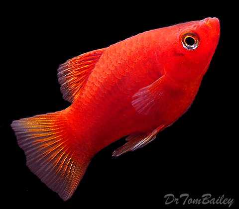 """Premium Red Platy, 1"""" to 1.2"""" long"""
