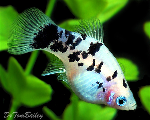 "Premium, New, and Rare, Dalmatian Platy, 1"" to 1.2"" long"