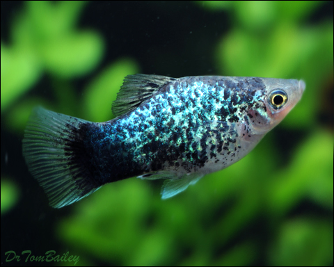 "Premium Blue Spotted Platy, 1"" to 1.5"" long"
