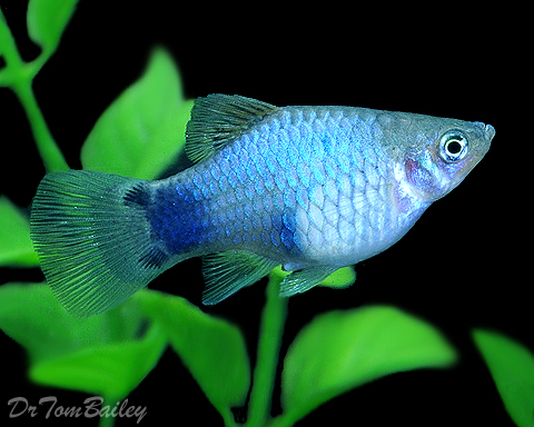 "Premium Blue Mickey Mouse Platy, 1"" to 1.5"" long"