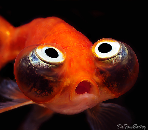 "Premium Gold Celestial-Eye Goldfish, 2"" to 2.5"" long"
