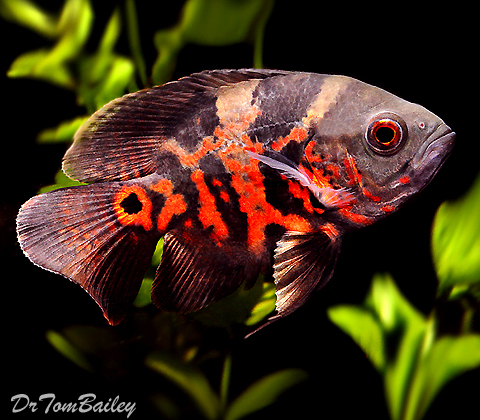 "Premium Tiger Red Oscar Cichlid, 1.5"" to 2"" long"
