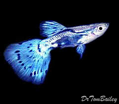 "Premium MALE Blue Fancy Guppy, 1"" to 1.5"" long"