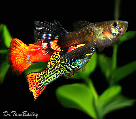 "Premium Fancy Male Guppies in Assorted Colors, 1"" to 1.5"" long"