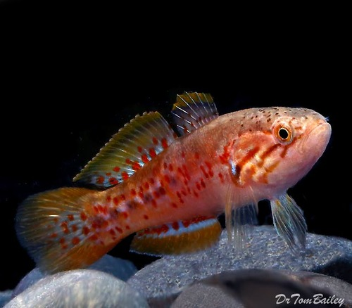 """Premium Purple Spotted Gudgeon, 2.5"""" to 3"""" long"""