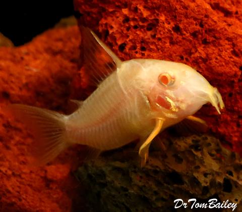 "Premium Albino Corydoras Sterbai Catfish, 1"" to 1.5"" long"