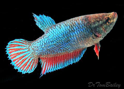 """Premium Unique Female Betta Fish, 1"""" to 1.2"""" long"""