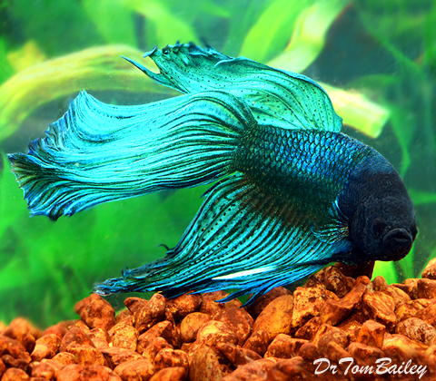 "Premium Male Blue-Green Betta Fish, 2.5"" to 3"" long"
