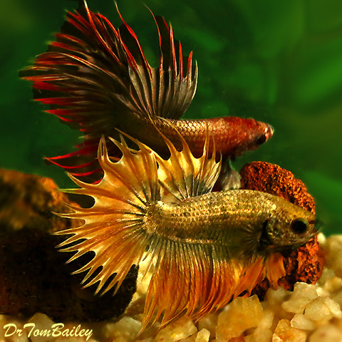 "Premium Rare Assorted Male Dragonscale Crowntail Betta, 2"" to 2.5"" long"