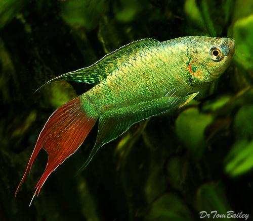 "Premium Blue Paradise Fish, 1.5"" to 2"" long"