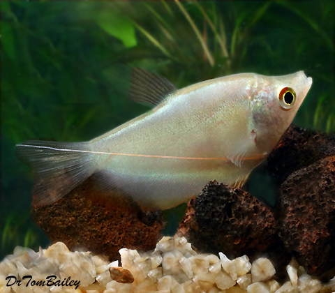 "Premium Moonlight Gourami, 2.5"" to 3"" long"