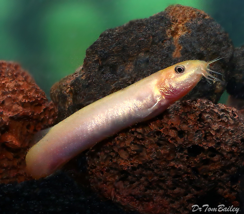 """Premium Gold Weather Loach, 2"""" to 2.5"""" long"""