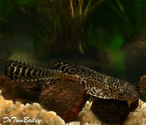 "Premium Longfin Pleco, 3"" to 3.5"" long"