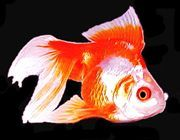 "Premium Red & White Ryukin Goldfish, 3"" to 3.5"" long"