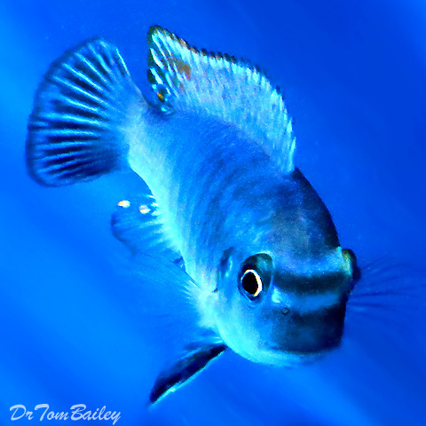 "Premium Blue Fuelleborni Mbuna, 3.5"" to 4"" long"