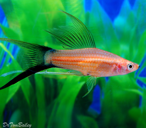 """Premium, New and Rare, Assorted Lyretail Swordtails, 2"""" to 2.5"""" long"""