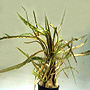"Premium Cryptocoryne Retrospiralis Potted Plant, 5"" to 6"" tall"