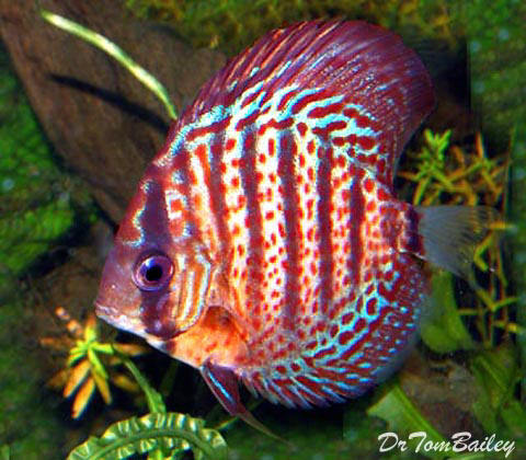 "Premium Wild Red Spotted Discus, 2.5"" to 3"" long"