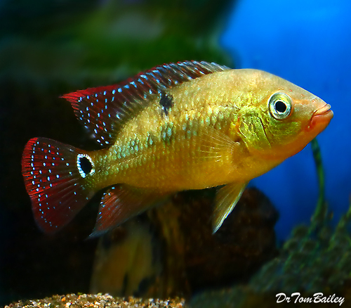 "Premium Red Terror Cichlid, 3.5"" to 4"" long"