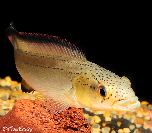 "Premium Unidentified Pike Cichlid, 4"" to 5"" long"