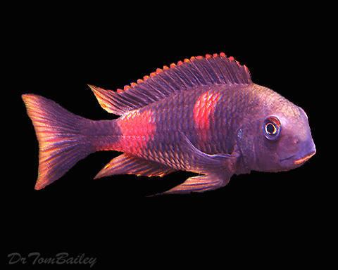 "Premium Lake Tanganyika Cherry Spot Tropheus Moorii Cichlid, 1.5"" to 2"" long"