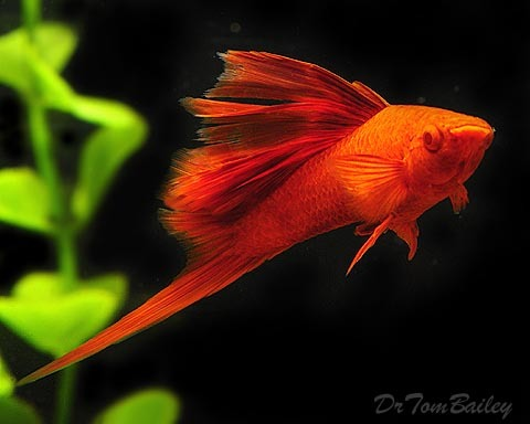 "Premium Rare, Hifin Red Eye Red Swordtail Male, 2"" to 2.5"" long"