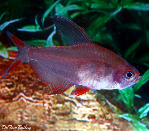 """Premium Rosy Red Tetra, 1"""" to 1.2"""" long"""