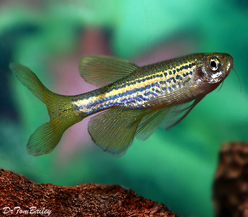 "Premium Long Fin Leopard Danio, 1"" to 1.5"" long"
