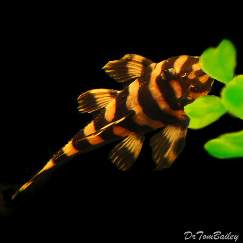 """Premium Butterfly Pleco, L168, 3.5"""" to 4"""" long"""