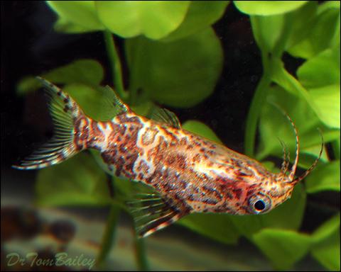 "Premium Upside Down Synodontis Nigriventris Catfish, 1"" to 1.5"" long"
