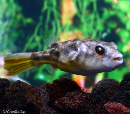 "Premium Freshwater Fahaka Pufferfish, 4"" to 4.5"" long"