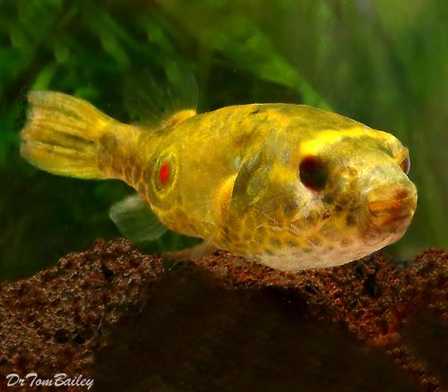 """Premium Freshwater Fangs Pufferfish, 2"""" to 2.5"""" long"""