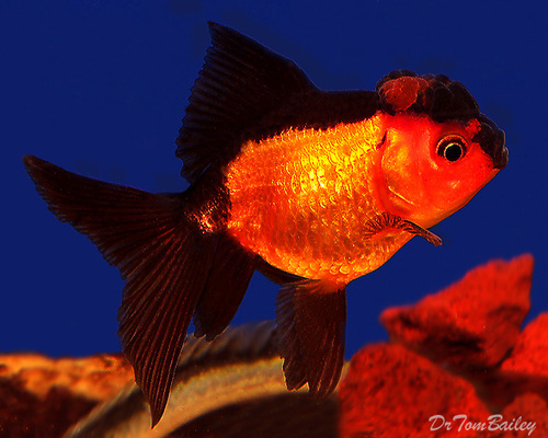 "Premium Rare, Red and Black Oranda Goldfish, 3"" to 3.5"" long"