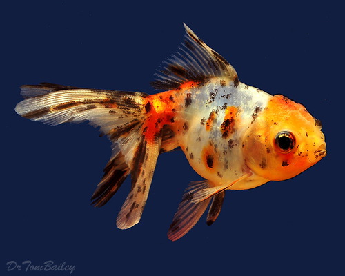 "Premium Calico Oranda Goldfish, 2.5"" to 3"" long"