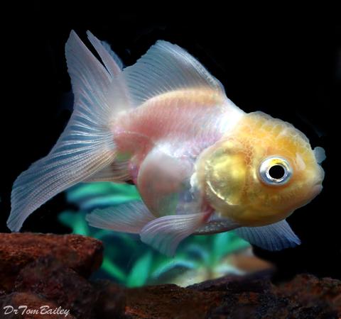 "Premium Rare Pearl White Oranda Goldfish, 2"" to  2.5"" long"