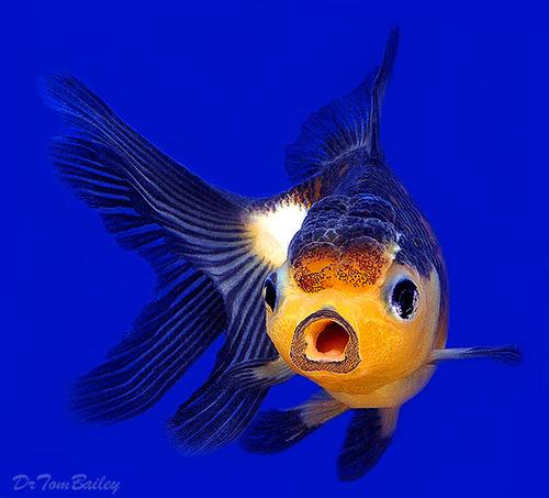"""Premium Rare, Panda Oranda Goldfish, 3"""" to 3.5"""" long"""