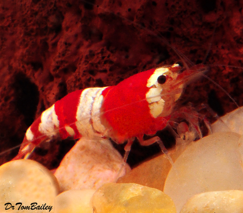 "Premium Red and White Crystal Shrimp, 0.75"" to 1"" long"