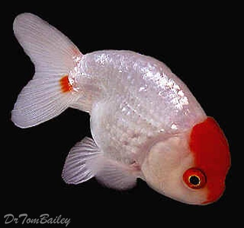 "Premium Red & White Ranchu Goldfish, 1.5"" to 2"" long"