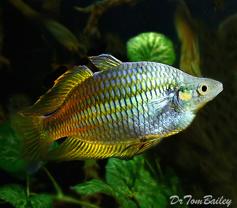 "Premium Rare Golden Parkinson's Rainbowfish, 2"" to 2.5"" long"