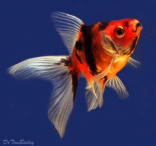 """Premium Calico Fantail Goldfish, 2.5"""" to 3"""" long and very nice!"""