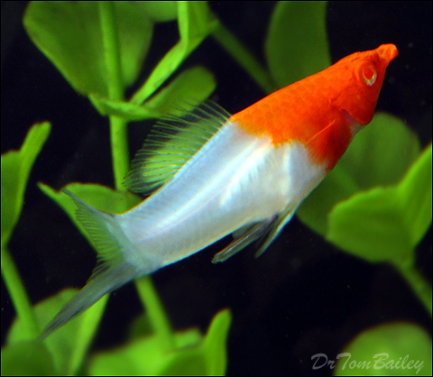 "Premium New & Rare, Male Kohaku (Koi) Swordtail, 2.5"" to 3"" long"