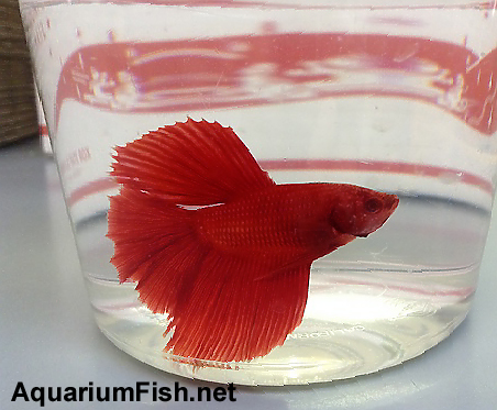 "Premium Red Halfmoon Male Betta Fish, 2.5"" to 3"" long"
