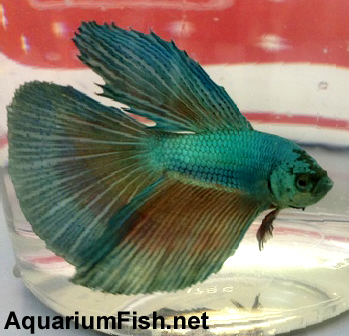 "Premium Green Halfmoon Male Betta Fish, 2.5"" to 3"" long"